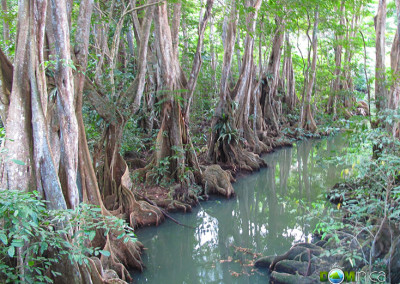 Buttress roots in a swamp forest